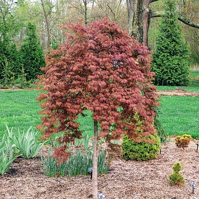 Acer Palmatum Orangeola By Bill Blevins In Pinetum Plants Map