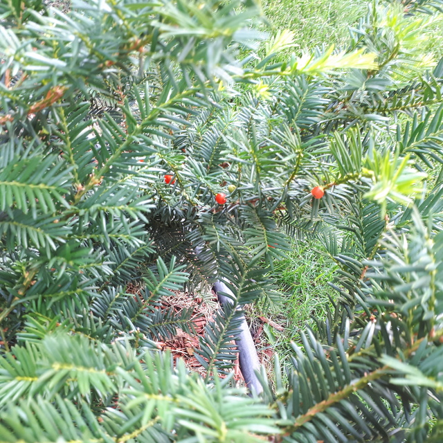Plant Yew Bush Taxus Spp By Triciacarolan In Front Of House