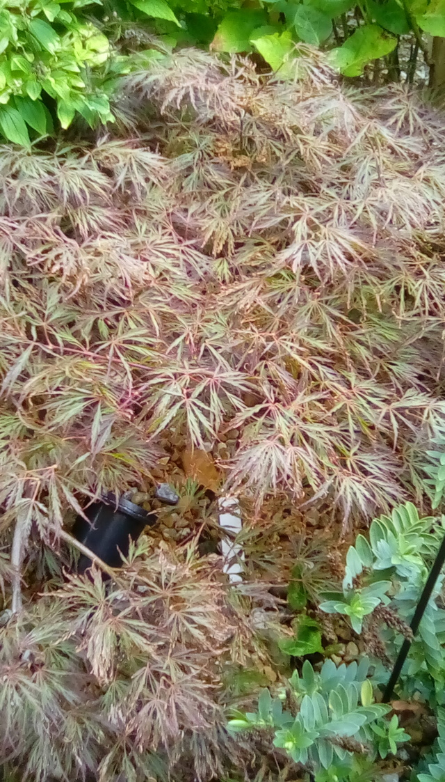 Acer Palmatum Dissectum Orangeola By Thegeorgegraham In Our Back