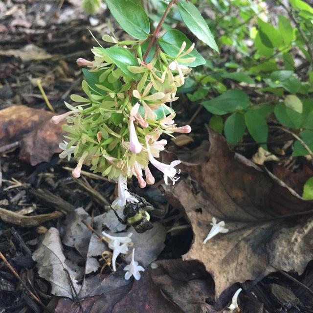 Linnaea Grandiflora Canyon Creek By Tracy Blevins In Pollinator