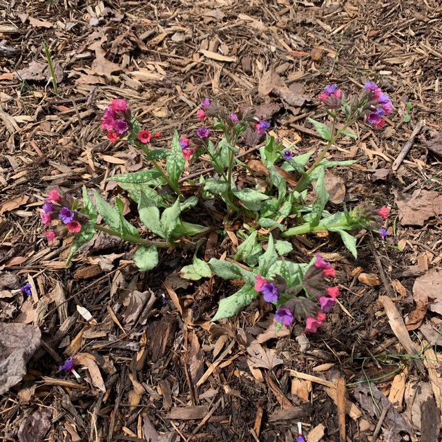 Plant Pulmonaria Silver Bouquet By Tracy Blevins In Cloudy Way