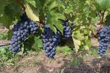 grapes-2488_640.jpg