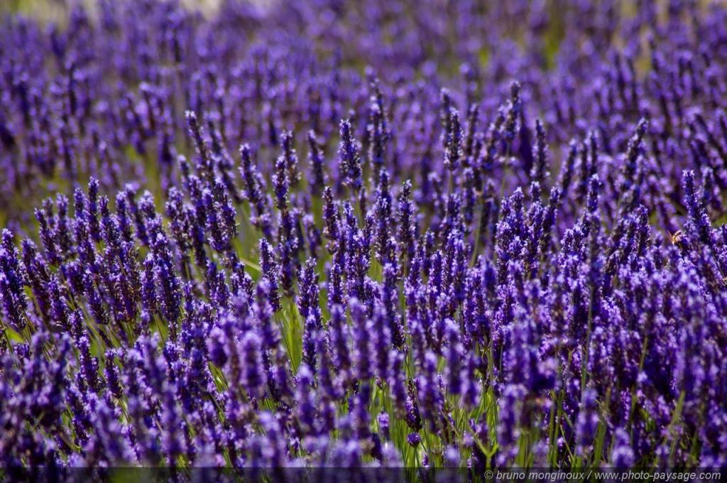 normal_Lavender_flowers_-01.jpg