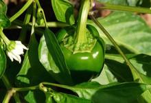 bell-pepper-plant-61726_1280.jpg