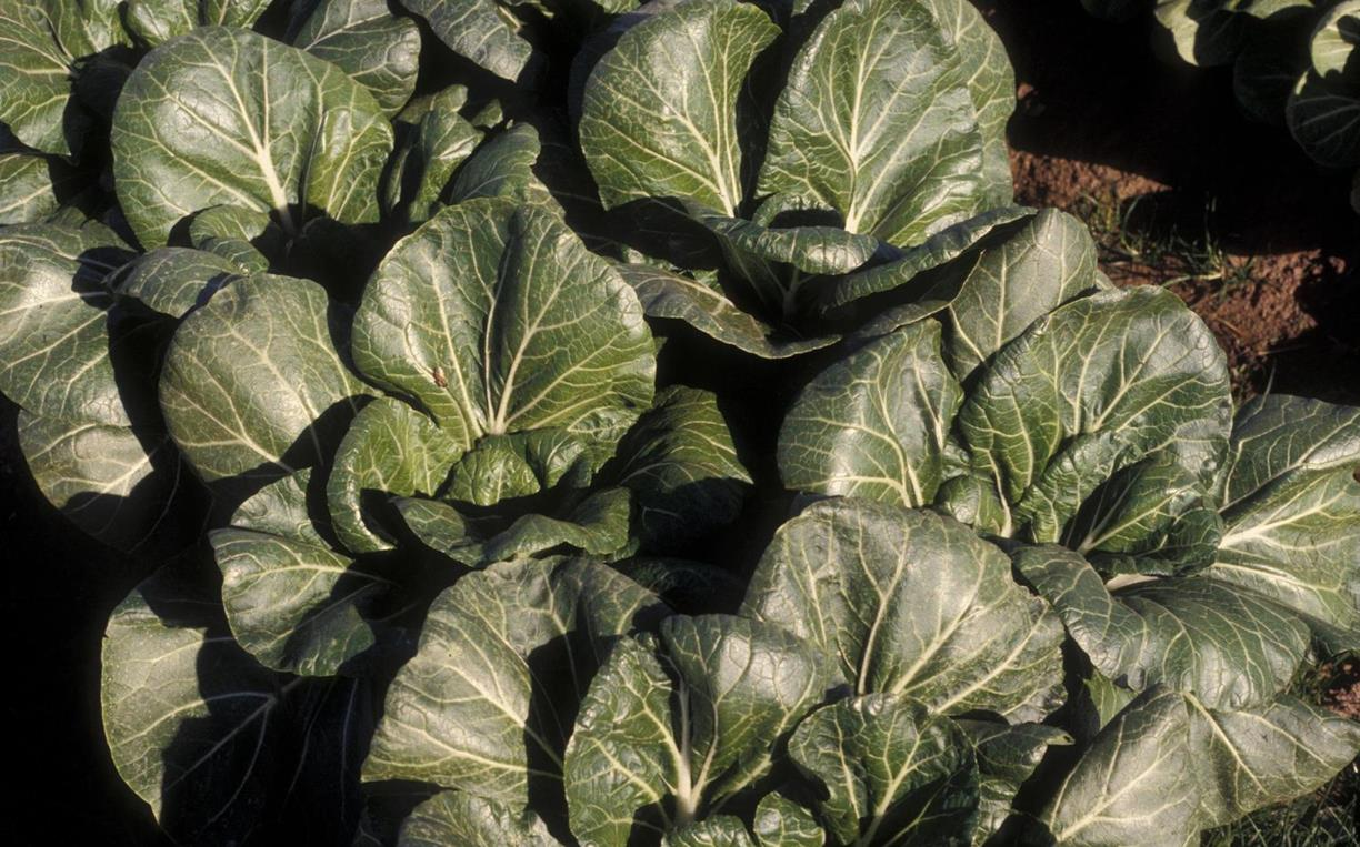 chinese_cabbage.jpg