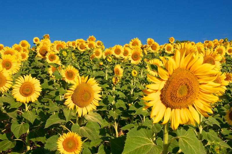 Sunflower Diseases And Pests Description Uses Propagation