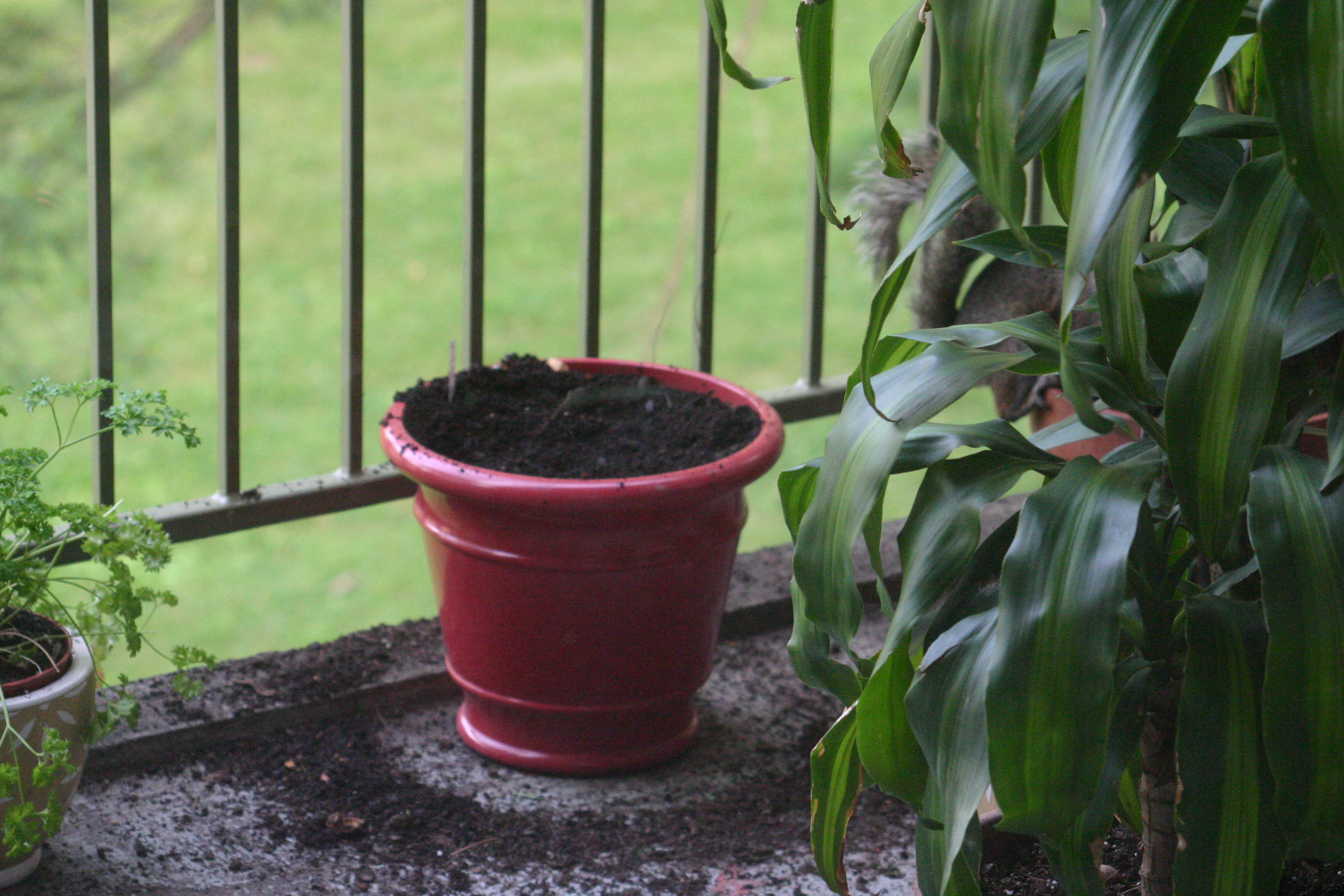 Balcony vegetable plants after a visit from squirrel.  How to deal with these unwanted guests?