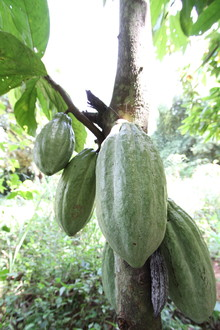 A cocoa pod on a tree in Ghana