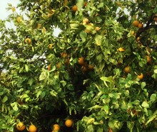 Bergamot_-_Sour_Orange_(Tree)_-_Waddell__Maricopa_County__Arizona__USA_-_January_2013.jpg