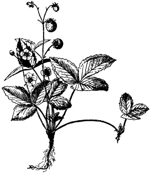 526px-Britannica_Wild_Strawberry.png
