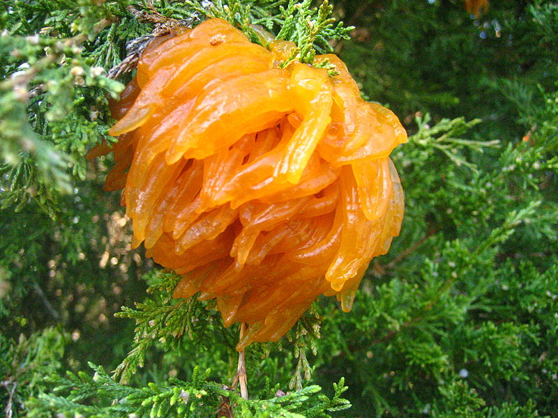 cedar_apple_rust_2.jpg