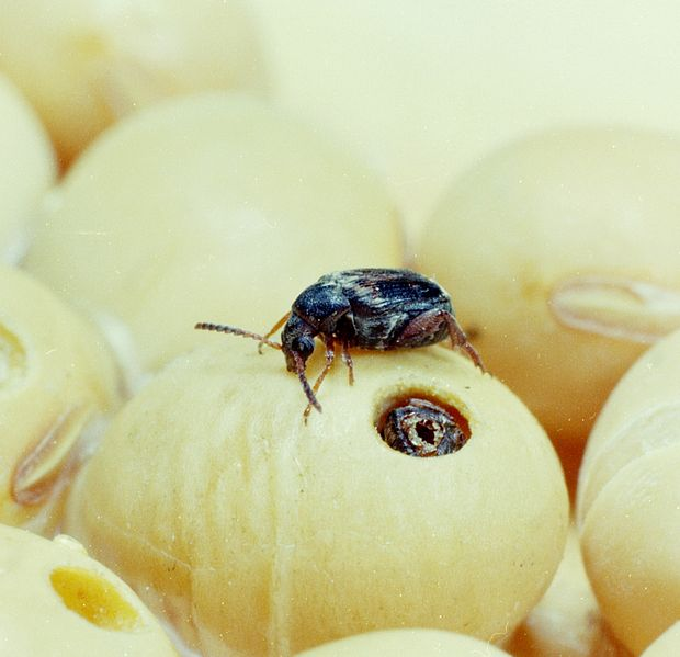 Acanthoscelides_obtectus_on_soybean.jpg