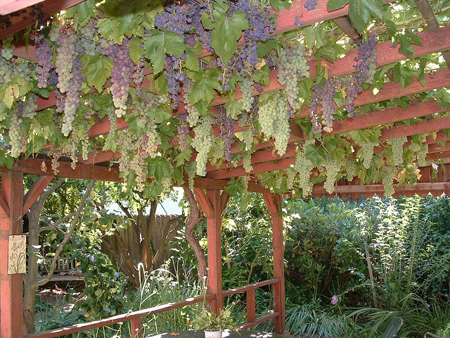 Very best Grape | How to build a trellis for grape vines DQ75