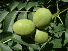 Walnut_fruit_on_the_branch.jpg
