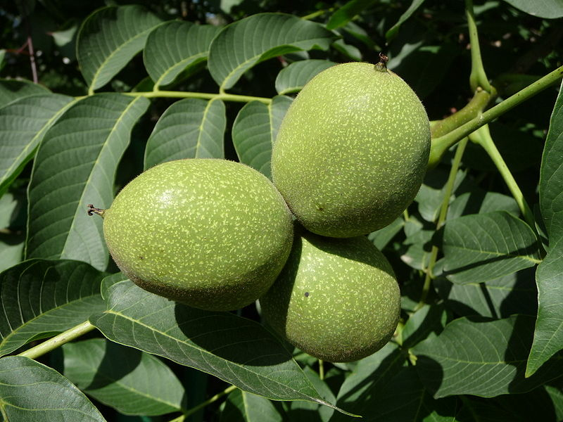 Walnut_fruit_on_the_branch.jpg