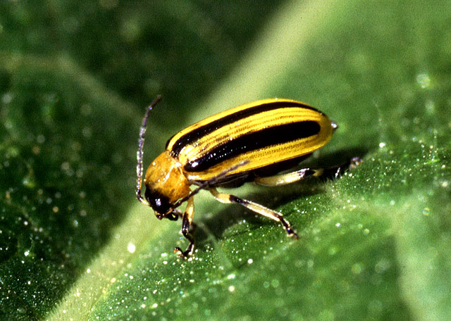 striped_cuke_beetle.jpg
