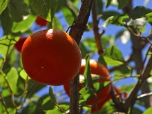 tangerines-3481_640.jpg