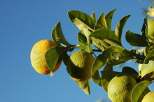 800px-Lemon_tree_001.jpg