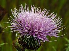 canada_thistle_flower.jpg