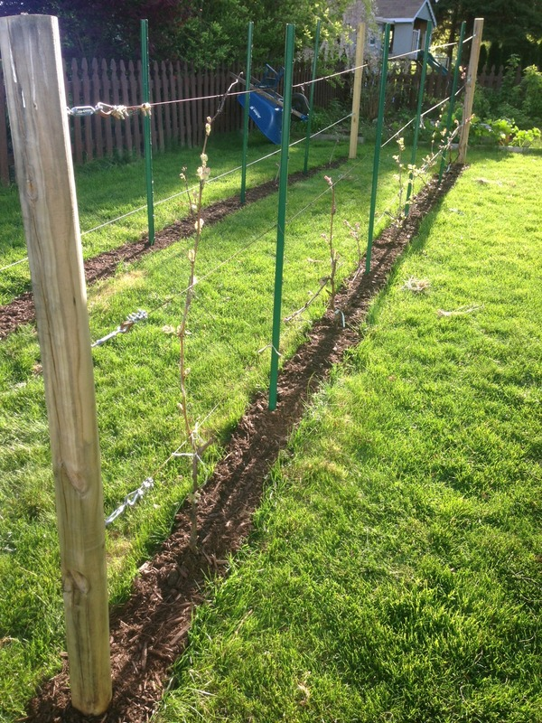 Lovely Grape | How to build a trellis for grape vines UQ87