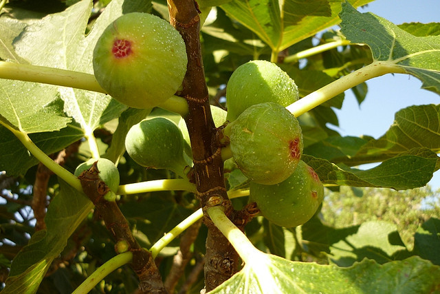 Fig Diseases And Pests Description Uses Propagation
