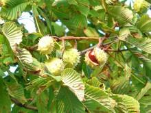 chestnut-60344_1920.jpg