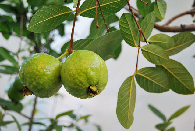 Guava diseases and pests description uses propagation guava fruits growing on the tree mightylinksfo