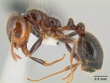 Southern_fire_ant.jpg