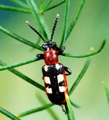 Asparagus_beetle.jpg