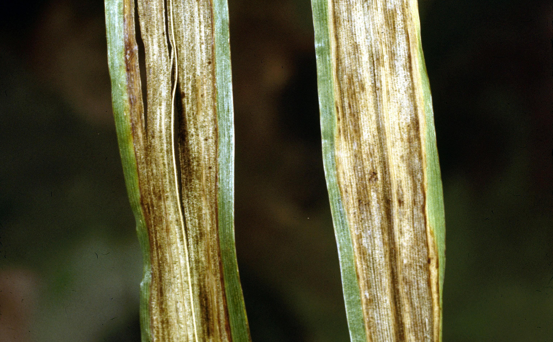 Barley_stripe.jpg