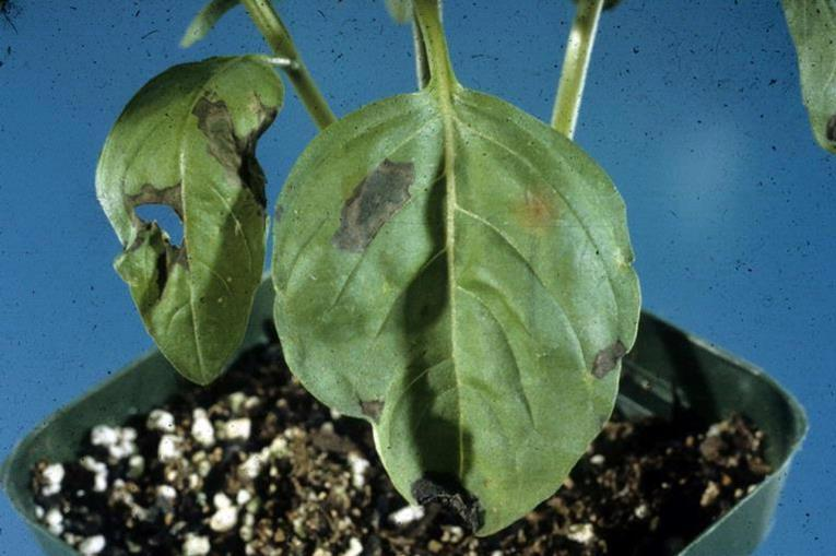 Basil Diseases And Pests Description Uses Propagation