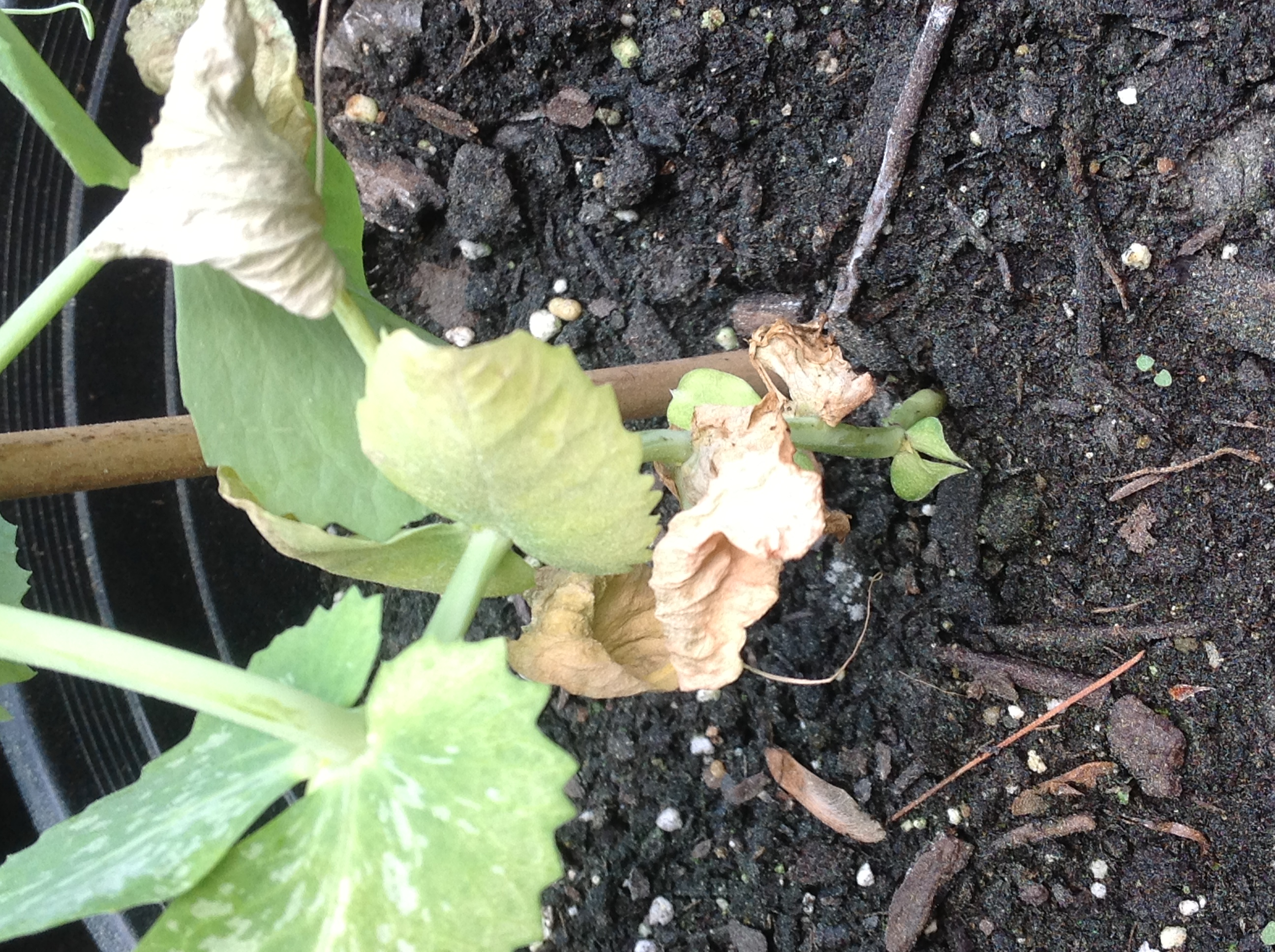 Brown leaves on pea plants