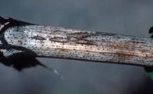 Phomopsis_leaf_spot_2.jpg