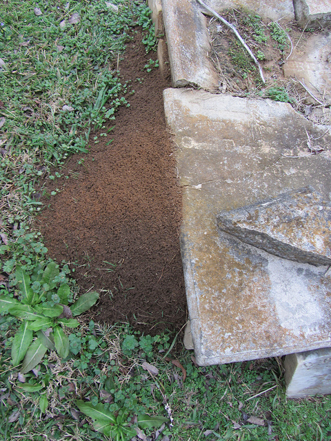 fire_ant__nest_.jpg