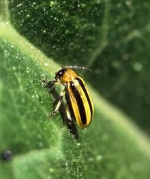 Striped_cucumber_beetle.jpg