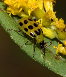 Spotted_cucumber_beetle.jpg