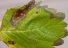 Phomopsis_leaf_blight_1.jpg