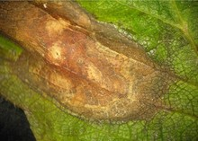 Phomopsis_leaf_blight_2.jpg