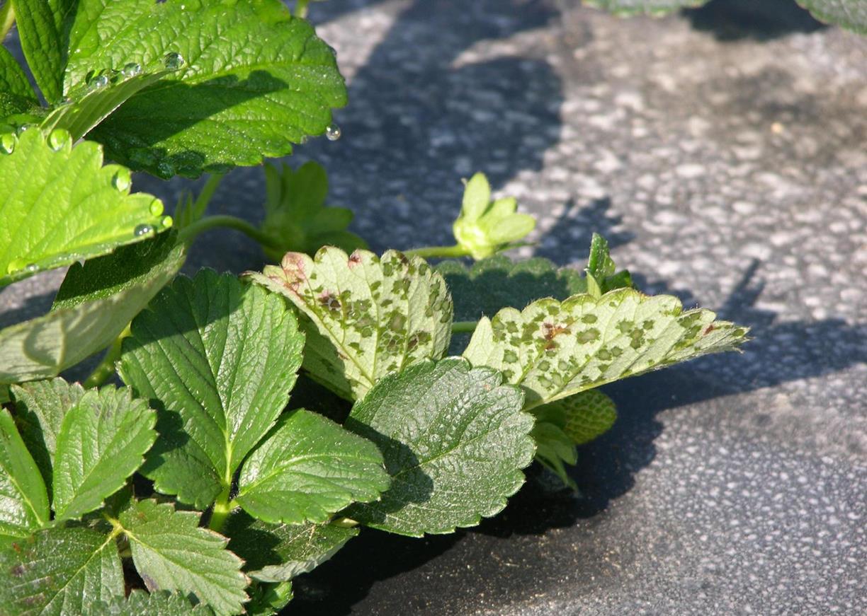 Angular_leaf_spot_1.jpg