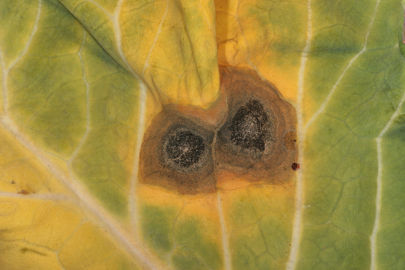 Brassica_ring_spot_2.jpg
