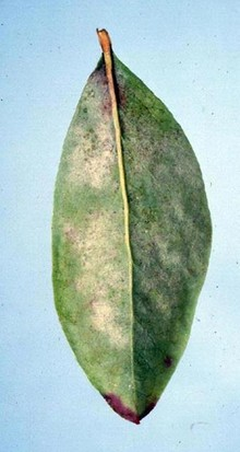 Powdery_mildew_2.jpg