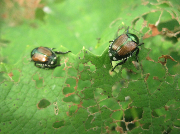 Beetles on grape leaves
