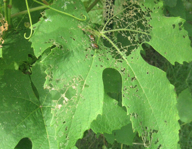 Damage on grape leaves