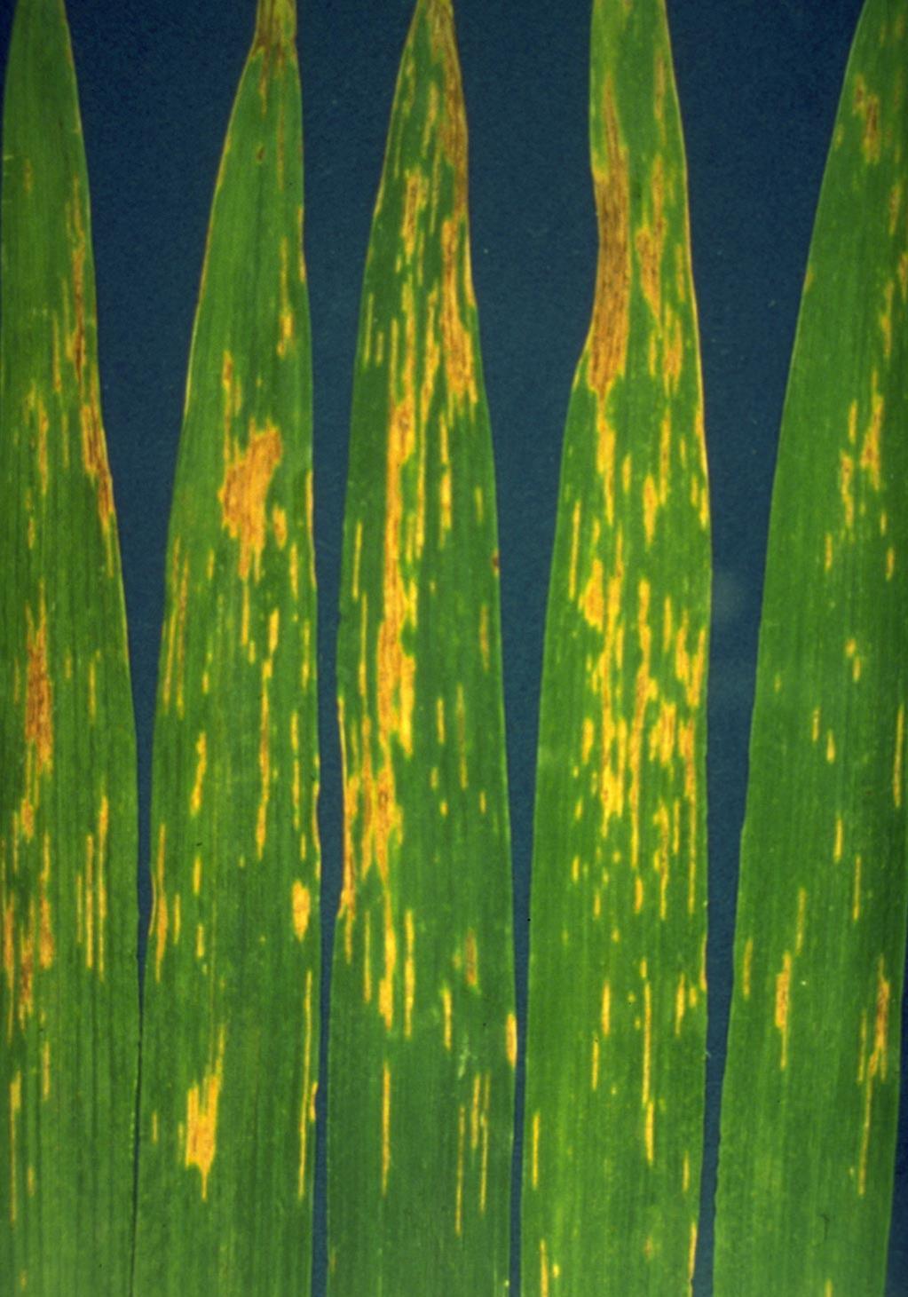 Bacterial_streak_1.jpg