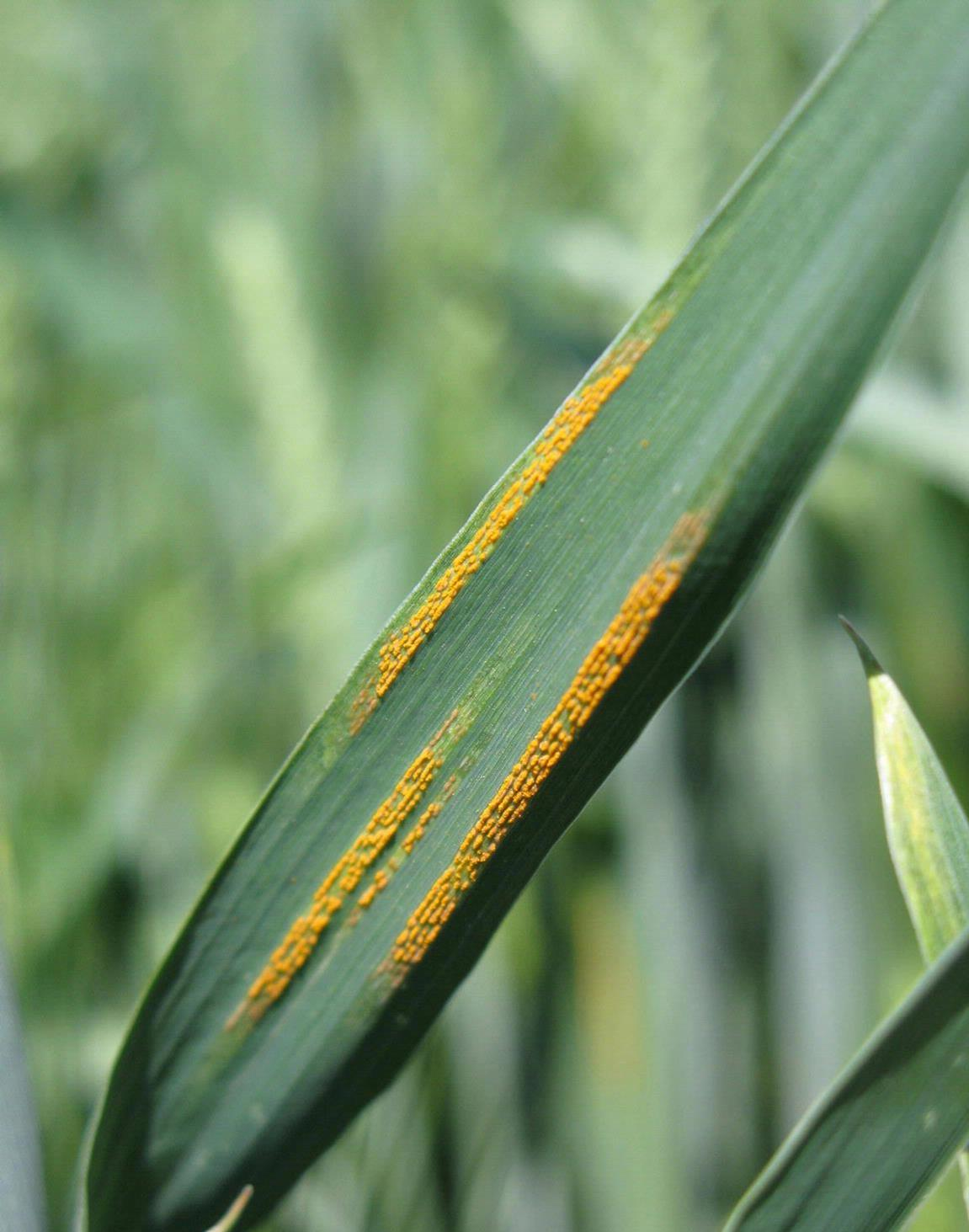 Stripe_rust.jpg