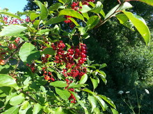 Red, juicy-looking berries and ovate leaves