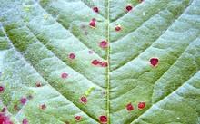 Cherry_leaf_spot.jpg
