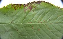 Cherry_leaf_spot_2.jpg