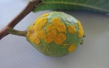 Guava_rust_1.jpg