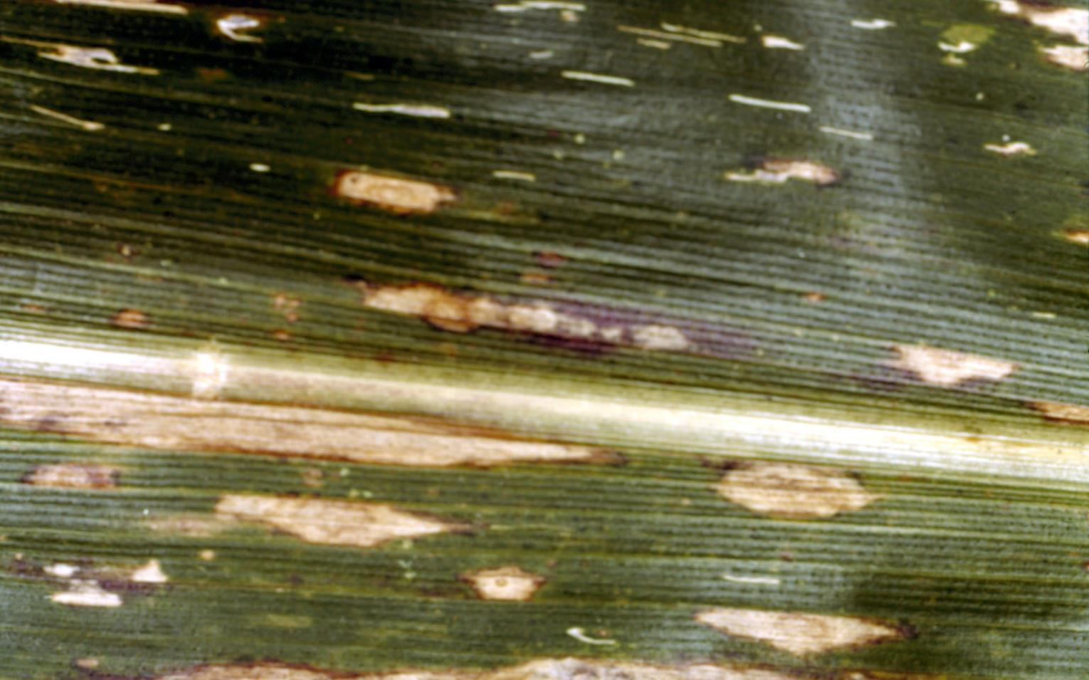 Southern_corn_leaf_blight_1.jpg